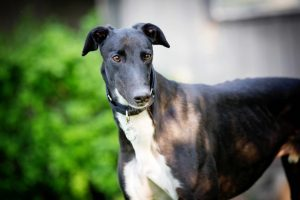 HSUS Shut Down Greyhound Racing in Florida. Now the Dogs Need Homes
