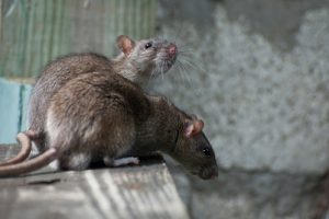 Animal Activists Oppose Rat Control. Really.